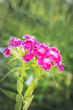 Flower with Blooming carnation flowers. Vertical photography.