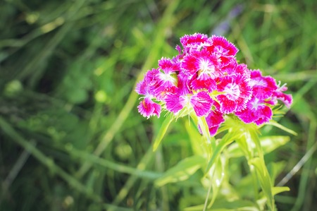 Flower with Blooming carnation flowers. Stock Photo