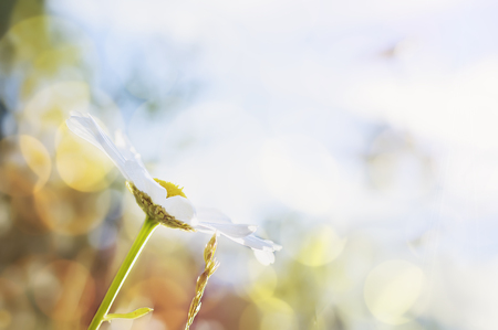 Chamomile flower against a bright blue sky. Beautiful natural background. Copy-space for text .