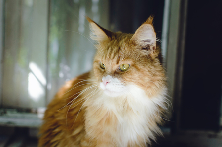 A beautiful big red cat Maine Coon sits and looks out the window. Stock Photo