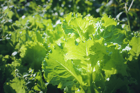 Green salad growing on the bed.