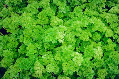 Parsley grows on the bed.