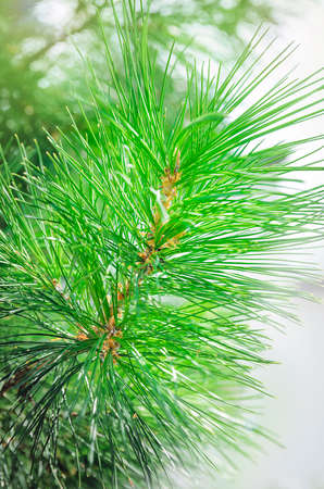 green pine branches close-up, beautiful background