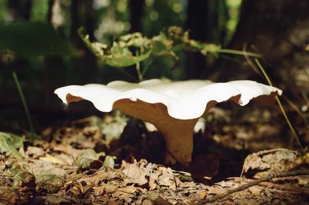 Lactarius pubescens mushroom. Picking mushrooms in the autumn forest.