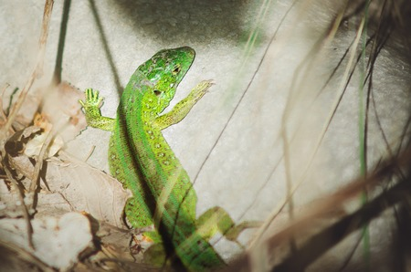 A green lizard is basking in the sun on a rock. Tinted photo.