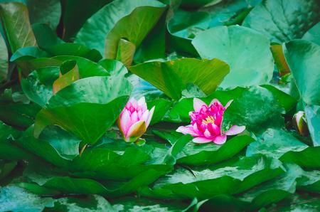 Pink nymphaea alba.