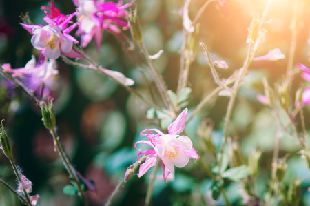 Beautiful flower epiphyllum pumilum, close-up. Toning, sunlight.