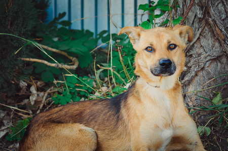 Curious dog looking at the camera.Close-up of a young mix breed dog head outdoors in nature sticking. Banque d'images