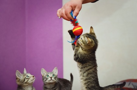 Cute home kitten playing with toys. Stock Photo - 113045033
