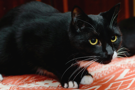 Beautiful black cat with white mustache and yellow eyes. Closeup portrait. Stock Photo