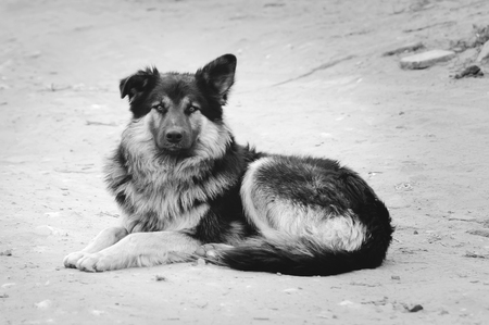 Outbred furry beautiful dog lies on the ground. Black and white photography. Stock Photo