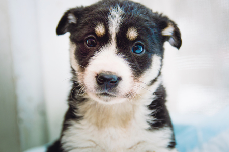 Portrait of a beautiful black with white spots purebred puppy. Close-up.