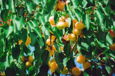 Branch of an apricot tree with ripe fruits.