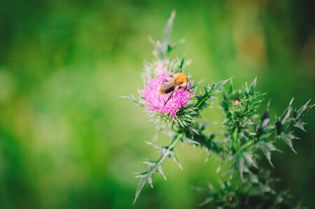 A bee sits on a thistle flower, close-up. Stock Photo