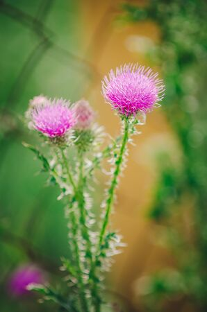 Cirsium vulgare (also known as spear thistle, bull thistle, or common thistle). closeup, selective focus. Banco de Imagens