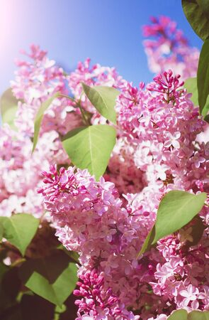 Blooming lilac bush on a background of blue sky. Vertical photograph. Фото со стока