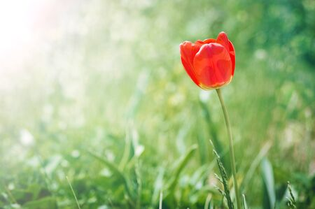 A lonely red tulip grows in the garden on a sunny spring day. Beautiful natural background, place for copyspace.