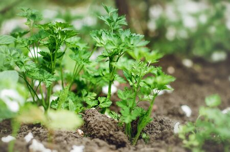 Parsley growing in garden in spring.