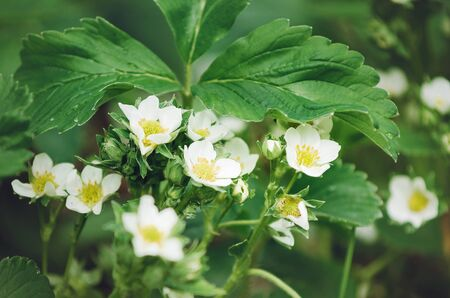 White flowers of strawberries in the garden, close-up. 版權商用圖片