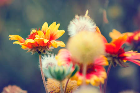 Beautiful Orange-red Gaillardia pulchella flowers and seeds. Natural blurred background for design. Stock Photo