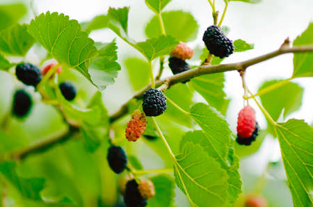 a close up of the sweet Mulberry fruit