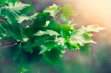 Green birch leaves on a blurred background. Zdjęcie Seryjne