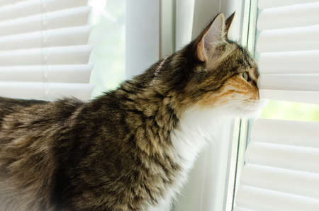 Cat looking out the window through the blinds.