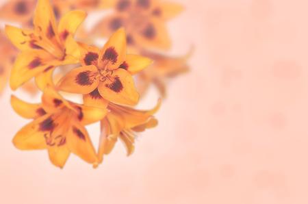 lilia: flores anaranjadas lilia sobre un fondo claro. tonificaci�n. enfoque selectivo