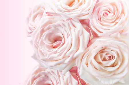 Pink roses on a pink background. toning. copy space Stock Photo