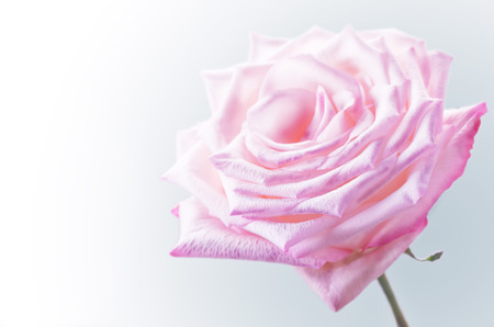 Pink rose on a grey background. toning Stock Photo