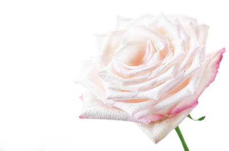 White rose on a white background. toning Stok Fotoğraf