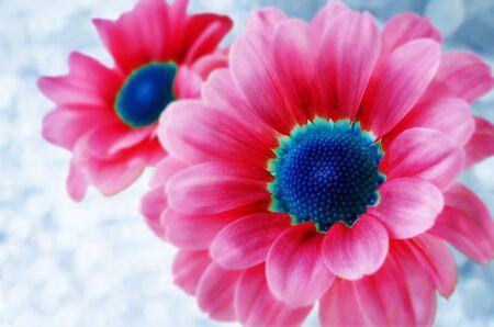 Pink chrysanthemum flowers. toning. copy space Archivio Fotografico