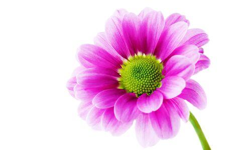 Fiori di crisantemo rosa. tonificante. copia spazio
