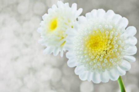 White chrysanthemum flowers. toning. copy space