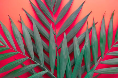 palm leaves on a pink background. layout, space for text.