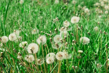Green meadow of fluffy dandelions. The concept of spring. Sunny meadow.