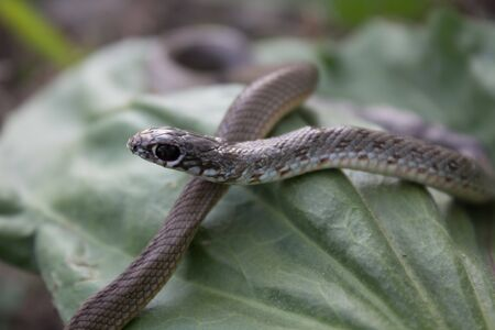 Snake in green leaves crawls on the grass. Snake in its natural habitat, snake life, life cycle. Stock Photo