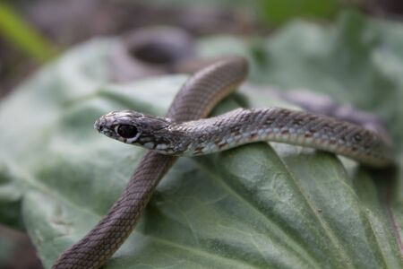 Beautiful snake with black eyes and a pattern on the back with a light abdomen in the natural day Фото со стока