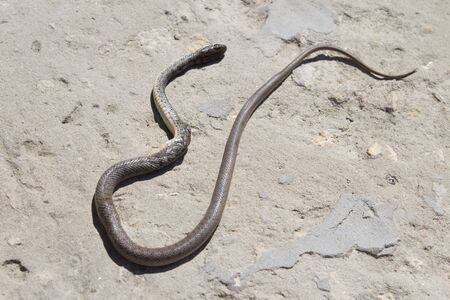 Snake with open jaws krupnom plan looks at camera and crawls. Viper and in the courtyard, the concept of catching snakes. Archivio Fotografico
