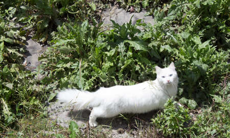 Fluffy white cat with big tail and blue eyes walks in the summer on an abandoned area, looking for mice for breakfast. Stock fotó - 150587959