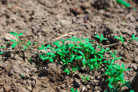 Sprouted seeds in the garden, young shoots of greenery, first sprouts of sowing. Sprouts of parsley, cilantro and dill.