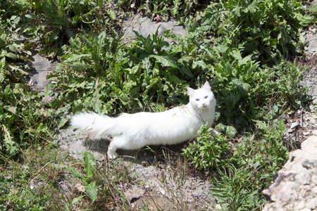 Fluffy white cat with big tail and blue eyes walks in the summer on an abandoned area, looking for mice for breakfast