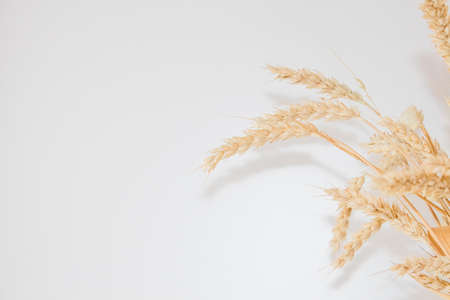 Ears of golden ripe wheat on a white background with copy space. Bouquet of wheat.