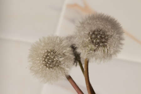 bouquet of fluffy dandelions on a white background with shadows. blogging and spring fashion concept. Фото со стока