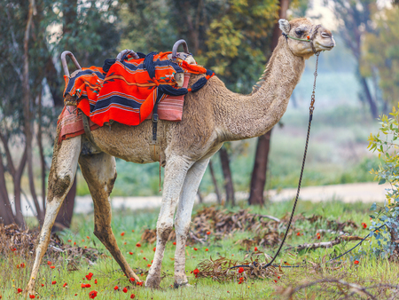 saddle camel: Camel in harness and red blanket on green glade with anemones