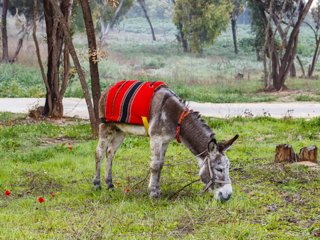 arab beast: A donkey in harness and red blanket on green glade with anemones