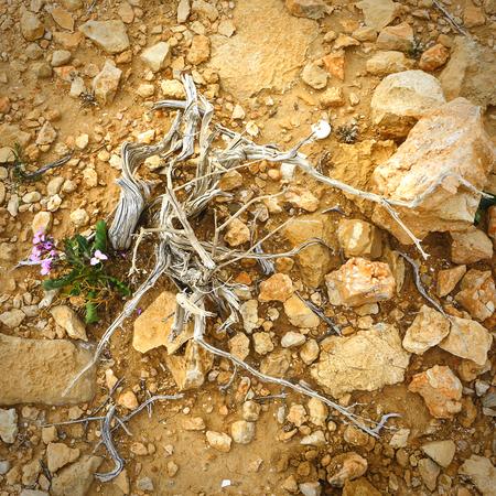 respite: Dead and flowering plants in the rocky soil of the Negev desert