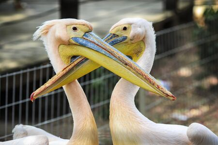 beaks: Two pink pelican with colored, long beaks hugging in captivity