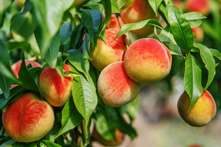 Sweet peach fruits growing on a peach tree branch in orchard