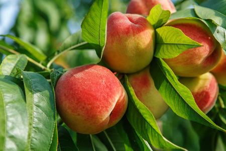 durazno: Frutas maduras melocotón dulces que crecen en una rama de árbol de melocotón en el huerto Foto de archivo